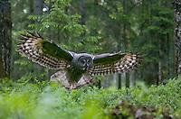 Great grey owl (Strix nebulosa) in flight in boreal forest, Oulu, Finland.