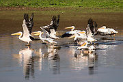 A flock of pelicans Photographed in Israel