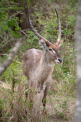 Waterbuck (Kobus ellipsiprymnus) in a forest, South Africa