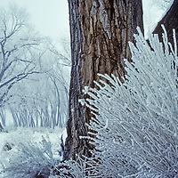 Rime from rare fog coats sagebrush and cottonwood trees in California's Owens Valley, near Bishop.