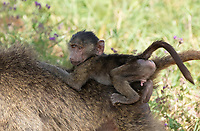 A juvenile male Olive Baboon, Papio anubis, rides on an adult's back in Ngorongoro Crater, Ngorongoro Conservation Area, Tanzania