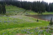 Wildflowers next to Tipsoo Lake in Mount Rainier National Park in Washington State, USA.