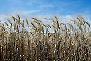 close up of ripe full wheat heads
