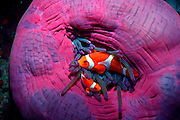 UNDERWATER MARINE LIFE WEST PACIFIC: Southwest FISH: Anemonefish in colorful anemone Amphiprion percula