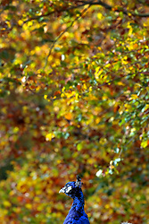 © Licensed to London News Pictures. 01/11/2011. Kew, UK. A peacock sits int he warming sun. People enjoy the Autumn sunshine in Kew Gardens today, 1st November 2011. Parts of the UK are experiencing higher than average temperature for the time of year.  Photo credit : Stephen Simpson/LNP