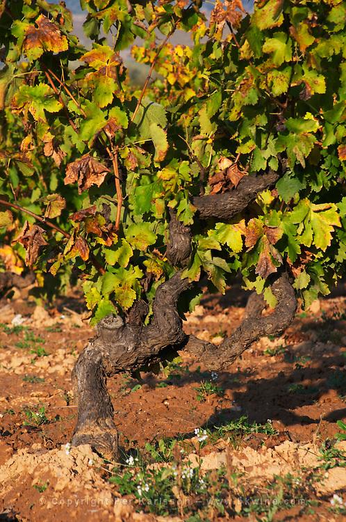 Old vines. Mas Comtal, Avinyonet, Penedes, Catalonia, Spain