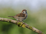 Tree sparrow, Passer montanus, perched on lichen covered branch in Garden, Lancashire, England, UK