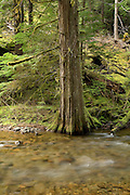 A western red cedar (Thuja plicata) trunk growing from the bank of Panther Creek, Washington. Wind River Experimental Forest, Washington.