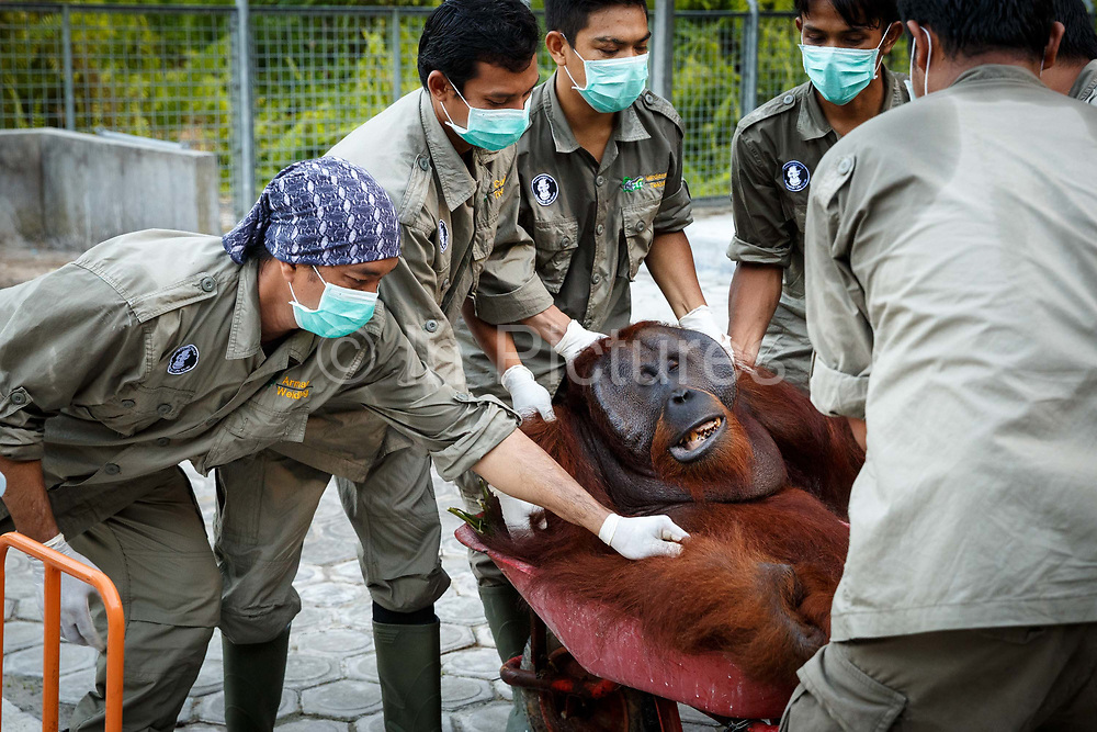 Technicians carry Kato, a large male orang-utan from his cage after sedating him in Nyaru Menteng Rehabilitation Centre, run by the Borneo Orangutan Survival Foundation, in Central Kalimantan, Borneo, Indonesia on 22nd May 2017. Kato will be taken by road and river to a release site in Bukit Baka Bukit Raya National Park. The centre houses around 450 rescued orangutans who have been displaced from their habitats by human activity. Many of them will be reintroduced into the wild, but some animals have illnesses or injuries that means they have to remain in the sanctuary indefinitely.