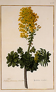 stonecrop (Sedum majus arborescens) a 17th century hand painted on Parchment botany study of a from the Jardin du Roi botanical Florilegium of Prince Eugene of Savoy collection, Paris c. 1670 artist: Nicolas Robert