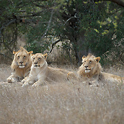 African lion, 2 males with a female resting. MalaMala Game Reserve. South Africa.