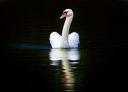 A Swan Swims On Black