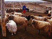 Seventy-five-year-old Clara Sherman with her Churro Sheep and a goat, Navajolands near Two Grey Hills, New Mexico.