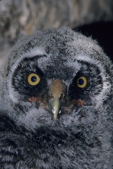 Great Gray Owl, (Strix nebulosa) Portrait of 5 week old chick. Spring.  Montana.