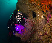 Red Gorgonian Seafan and a KISS rebreather scuba diver on the Aeolus Shipwreck  in North Carolina, USA