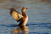 Stock photo of Gadwall captured in Colorado.  These ducks are not as gregarious as other dabbling ducks outside of the breeding season.  They tend to only form small flocks.