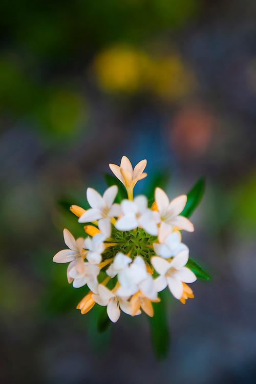 A multipart flower growing along Monument Creek Trail, Okanogan National Forest, Washington.