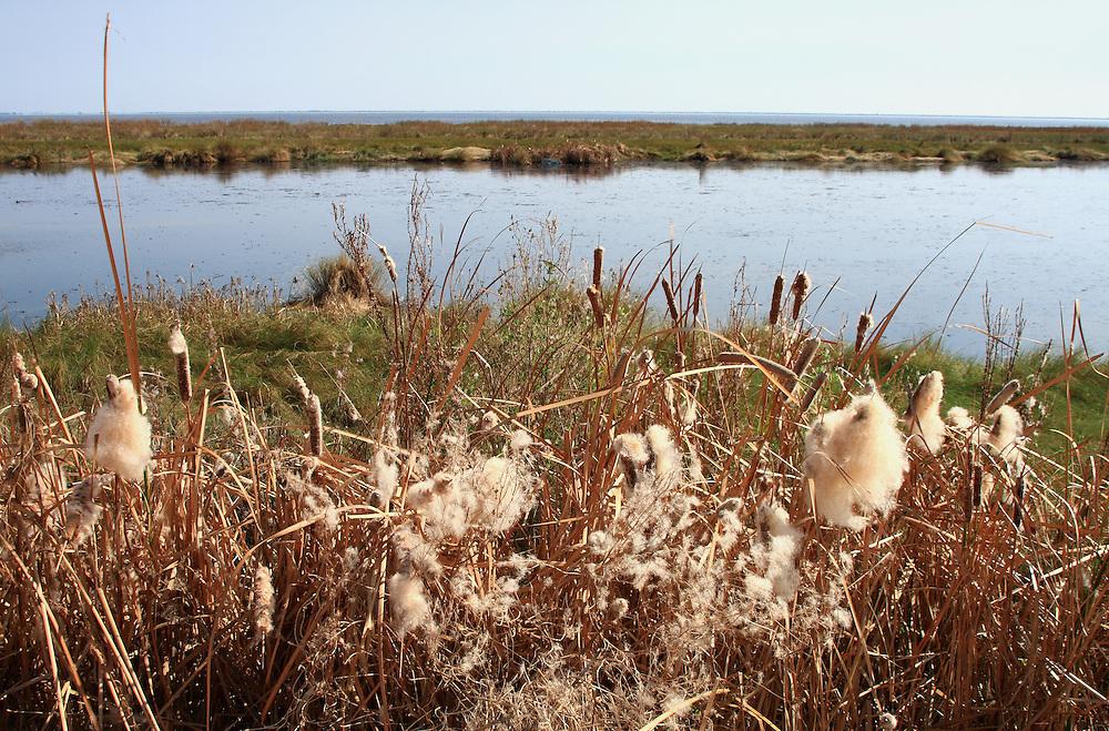 Cattails, Calcascieu Lake, Cameron Parish