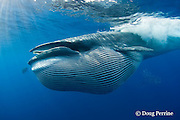 Bryde's whale, Balaenoptera brydei or Balaenoptera edeni, with throat pleats expanded after feeding on baitball of sardines, Sardinops sagax, off Baja California, Mexico ( Eastern Pacific Ocean ); baleen fringe visible, hanging from open jaw; #7 in sequence of 7