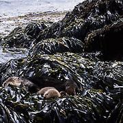 Sea Otter, (Enhydra lutris) Mother and baby on seaweed covered rocks. Aleutian Islands. Alaska.