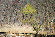 """A young weeping will tree stands out in an early Springtime budding forest. A stone wall and pale grass from previous seasons in the foreground set off the scene. <br /> <br /> Willow trees are among the first to offer color early in Spring. While the Maples are barely beginning to leaf, the Weeping Willow is already gracing the landscape with a beautiful wash of chartreuse. <br /> <br /> For IMAGE LICENSING just click on the """"add to cart"""" button above.<br /> <br /> Fine Art archival paper prints for this image as well as canvas, metal and acrylic prints available here:<br /> https://2-julie-weber.pixels.com/featured/first-color-julie-weber.html"""