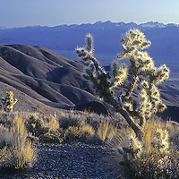 Cholla Cactus grow in the western foothils of California's White Mountains.  Behind are the Owens Valley, Sierra Nevada and Palisade Glacier.