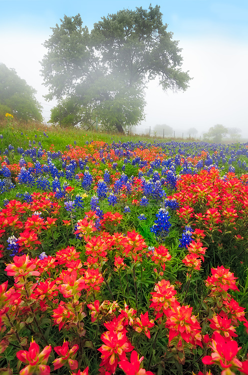 Paintbrush and bluebonnets in the Texas Hill Country near Fredericksburg, Texas
