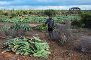 Prickly Pear cactus<br /> South Madagascar<br /> MADAGASCAR<br /> Used for cattle fodder