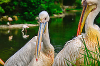 Pelicans, Lyon Parc de la Tete d'Or