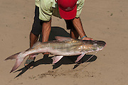 Catfish<br /> mid Orinoco River, 110 Km north of Puerto Ayacucho. Apure Province, VENEZUELA. South America.