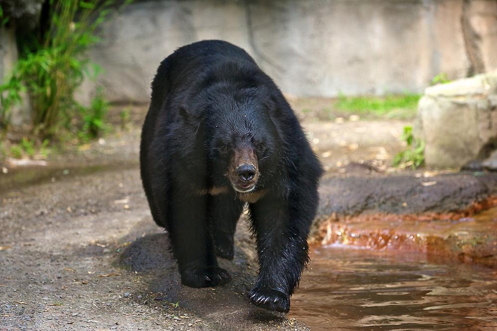 May 8, 2011; Norfolk, VA, USA; Asianatic black bear at the Virginia Zoo.  Mandatory Credit: Peter Casey