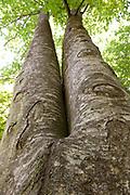 Looking up Tree Trunk towards canopy, Romania