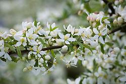 Malus transitoria AGM, Crab Apple in blossom