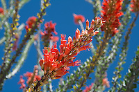 Although not really a cactus, the ocotillo is a somewhat common Southwestern plant found in most of the Sonoran and Chihuahuan Deserts. In the spring, the long, thorny spines sprout small green leaves and brilliantly orange flowers from the mature stems that attract and are pollinated by hummingbirds and carpenter bees.