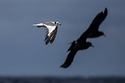 Sabine's gull (Xema sabini)<br /> South of South Africa<br /> Western Cape<br /> South Africa<br /> 60 miles south of Gansbaai