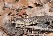 Shasta Alligator Lizard, Elgaria coerulea shastensis