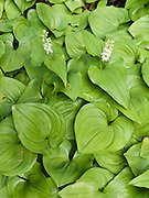 False Lily-of-the-Valley (Maianthemum, in the Lily Family) bloom from heart-shaped leaves in the verdant Central Cascades of Washington, USA. Hike to Lake 22 on .the Mountain Loop Highway near Verlot Visitor Center, in Mount Baker - Snoqualmie National Forest.