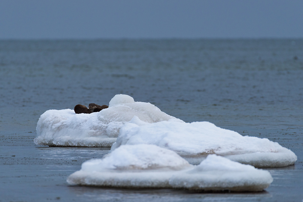 A group of three otters (Lutra lutra) rests atop some ice covered stone in shallow sea waters, Kaltene Seacoast, Kurzeme, Latvia Ⓒ Davis Ulands   davisulands.com