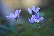 "Blooming common hepatica or liverwort (Hepatica nobilis) in forest undergrowth, nature park ""Kuja"", Latvia Ⓒ Davis Ulands | davisulands.com"