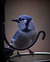 Blue Jayl. Image taken with a Nikon D5 camera and 600 mm f/4 VR telephoto lens (ISO 1600, 600 mm, f/4, 1/250 sec).