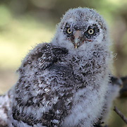 Great Gray Owl, (Strix nebulosa)5 week old chick in nest in old growth forest. Spring.  Montana.