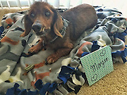 "18-Year-Old Rescue Dog Is Doing Everything On His Bucket List <br /> <br /> Morgan is a senior dachshund who is currently the ripe old age of 18. When Morgan's human passed away, he ended up at the Lee County Domestic Animal Services (LCDAS) in Fort Myers, Florida.<br /> <br /> When staffers at the shelter realized how old Morgan was, they knew they needed to get him out of the shelter to somewhere he could live out the rest of his days in peace. The shelter decided to reach out to Senior Paws Sanctuary (SPS) to see if it could help the elderly little dog.<br /> <br /> ""LCDAS called SPS to inform us that an elderly, unadoptable dog had arrived and wanted to know if we could help him,"" Kate Reidy, Morgan's foster mom,. ""The founder and organizer of SPS went to see Morgan and fell in love.""<br /> <br /> All of the dogs with SPS are sent to live with foster families, and so Morgan went to live with Reidy and her 10-year-old dog, Charlie. Reidy assumed that because he was already 18, Morgan would be a slower, sleepier kind of dog — but that turned out not to be the case at all.<br /> <br /> ""I joke and say Morgan has Benjamin Button disease,"" Reidy said. ""He has gotten more active, livelier and his personality has grown in the past year of fostering him. Most people don't believe his age!""<br /> <br /> Morgan immediately began to thrive in his foster home, loving everything about his new life. His new mom got him his own stairs to help him get onto the couch and bed, and he loves to wander around his house exploring.<br /> <br /> ""He loves attention,"" Reidy said. ""He loves to snuggle as close as he can to you and every so often he will get up and sniff your face just to make sure he remembers who he is sitting with! It's so sweet.""<br /> <br /> No one can be sure exactly what Morgan's first 18 years of life were like, or exactly what he got to do or see. Since his foster home seemed to make him livelier and more excited to explore the world, his foster mom decided to make him a bucket list.<br /> <br /> So far, Morgan has gotten to go on a plane …<br /> meet a sergeant and beco"