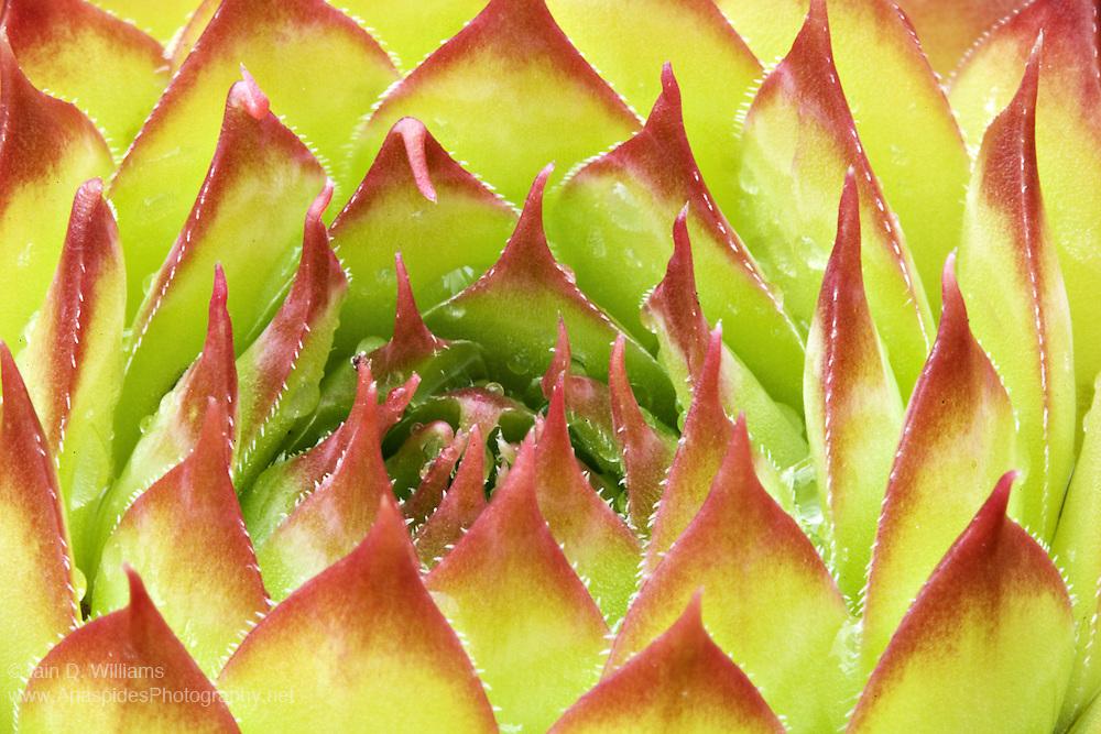 Succulent Leaves - Tasmania