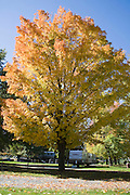 Maple tree at peak color in middle of KOA campground.