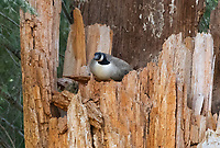 Canada Goose, Branta canadensis, perched on a tree stump near Hyatt Lake, Oregon