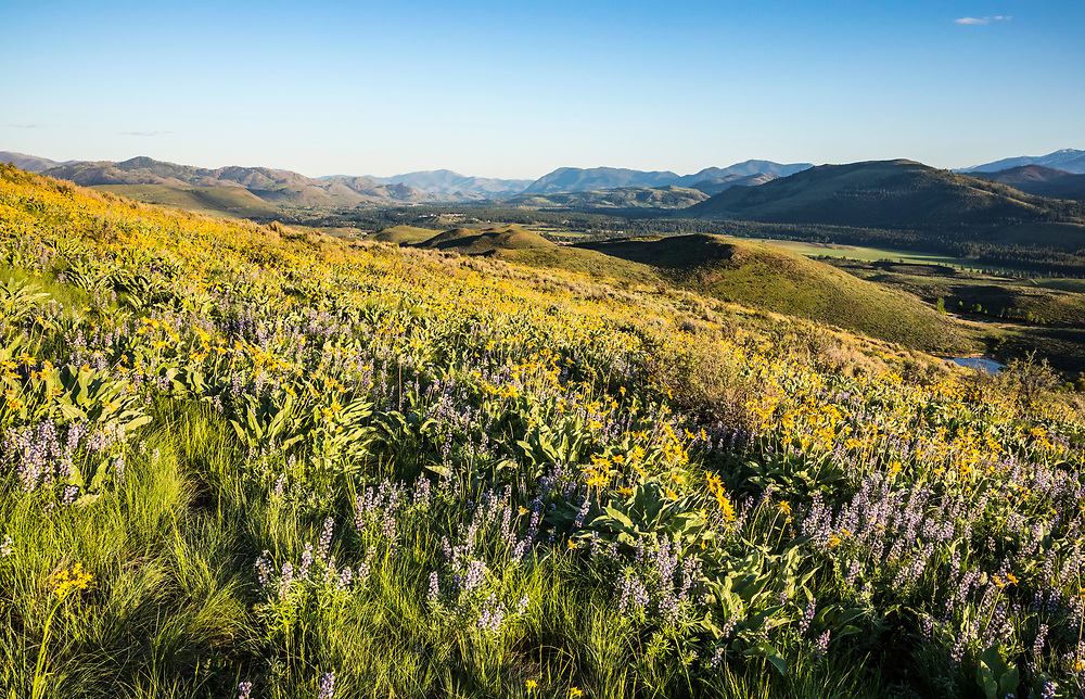 Grass and lupine cover the hillside in Spring along Lewis Butte trail in the Methow Valley outside Winthrop, Washington.