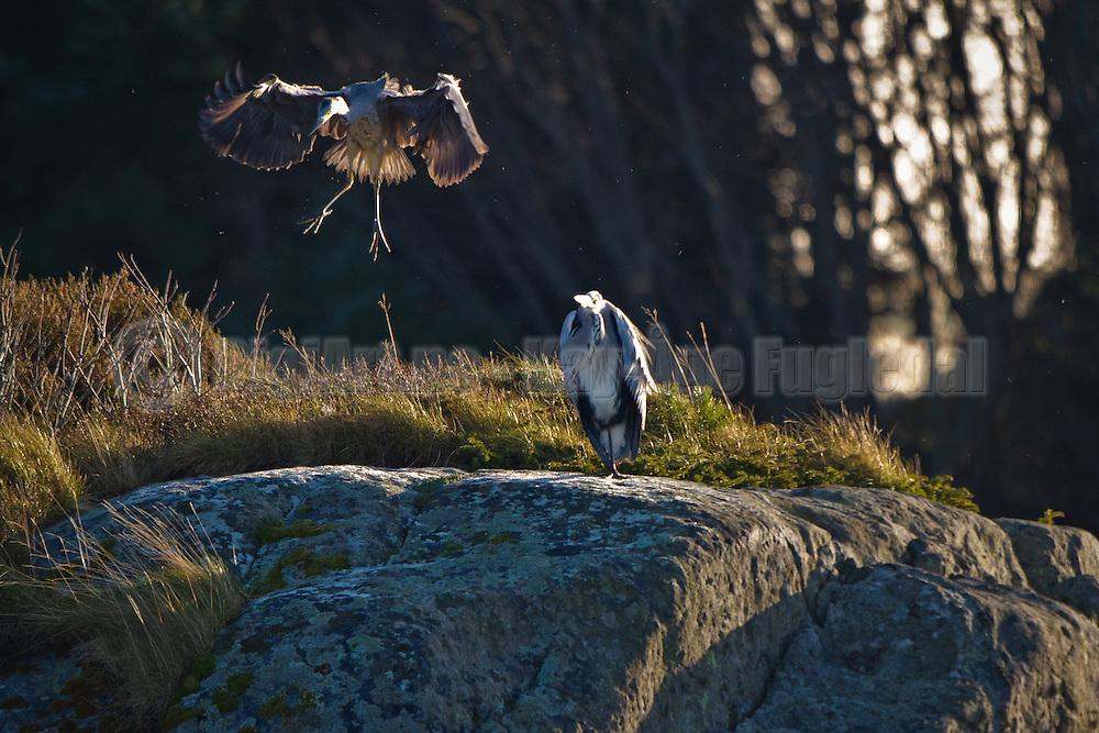 Hegre inn for landing ved Mjølstadneset