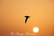 Laysan albatross, Phoebastria immutabilis, flying at sunset, Sand Island, Midway Atoll, Midway National Wildlife Refuge, Papahanaumokuakea Marine National Monument, Northwest Hawaiian Islands, USA ( North Pacific Ocean )