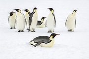 A group of Emperor Penguins (Aptenodytes forsteri), Snow Hill Island, Weddell Sea, Antarctica.