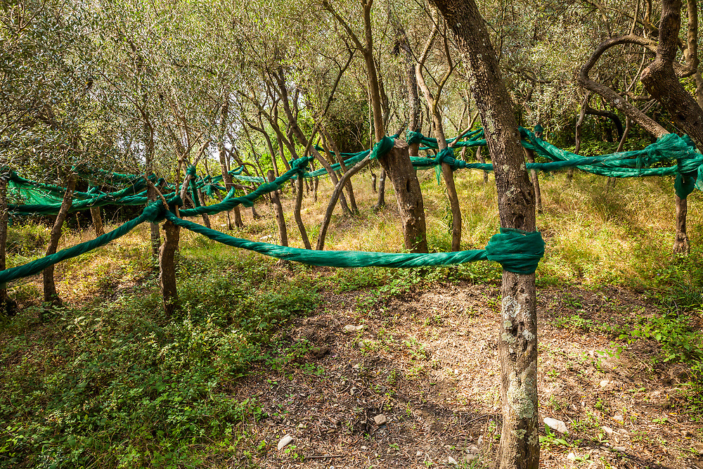 Nets used for harvest of the olives from the trees, Cinque Terre, Italy.